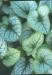 Brunnera_macrophylla____Jack_Frost___.jpg