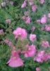 Diascia-Little_Dancer.jpg