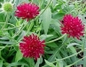 Knautia_macedonica___Crimson_Cushion__.jpg