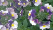 Nemesia-Berries_and_Cream.jpg
